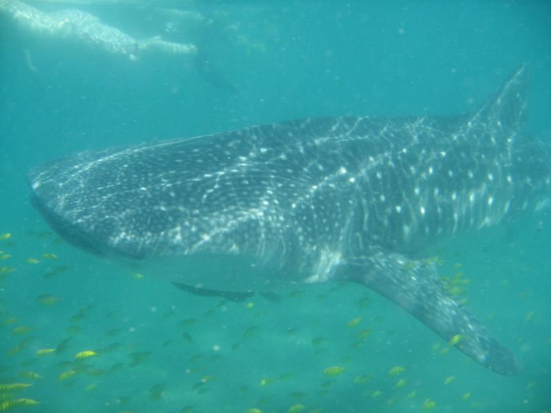 Cortez Club Whale Sharks