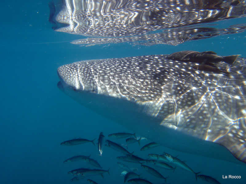 Cortez Club Whale Sharks