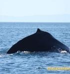 Cortez Club Whales
