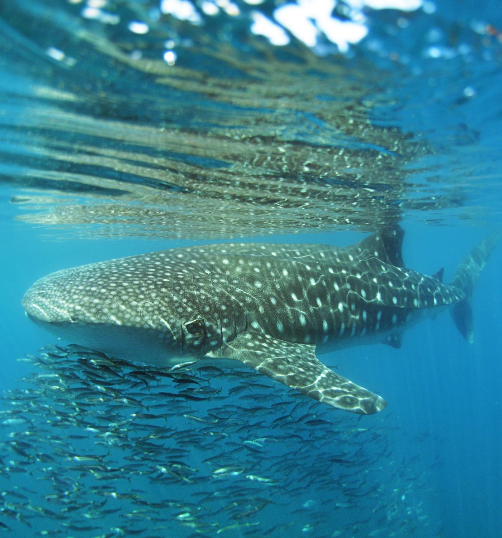 carlos-juvera-whale-shark-1