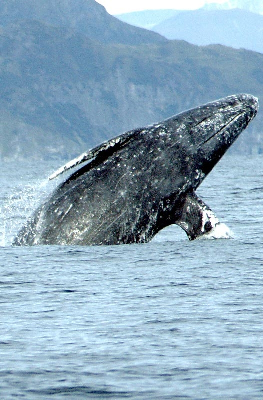 gray_whales
